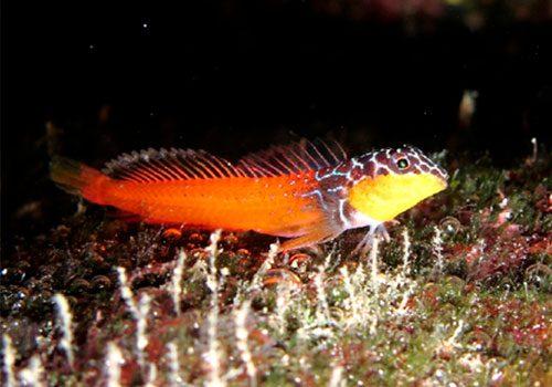 Microlipophrys nigriceps