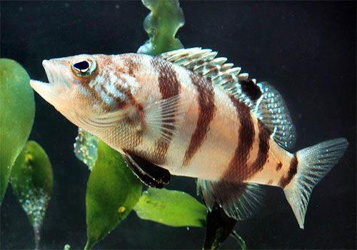 Serranus Hepatus
