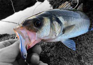 lubina rockfishing