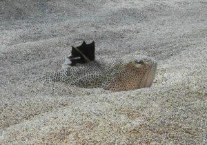 araneus enterrado