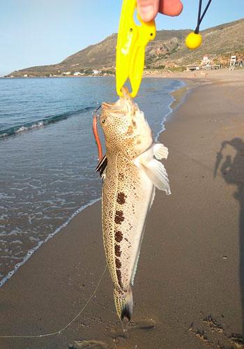 araneus pesca