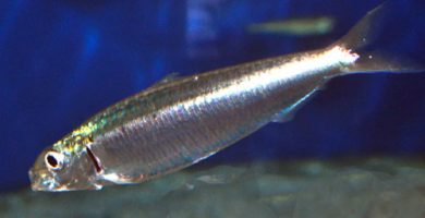 sardina_pilchardus
